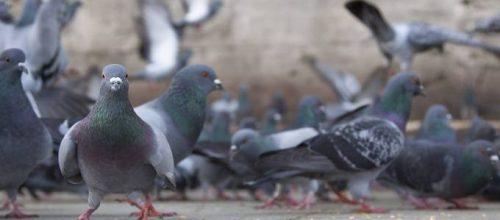 Doença do pombo deixa três pessoas hospitalizadas em Brasília