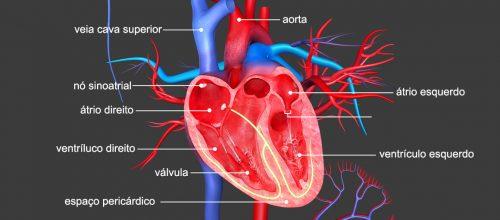 Curiosidades sobre o funcionamento do coração